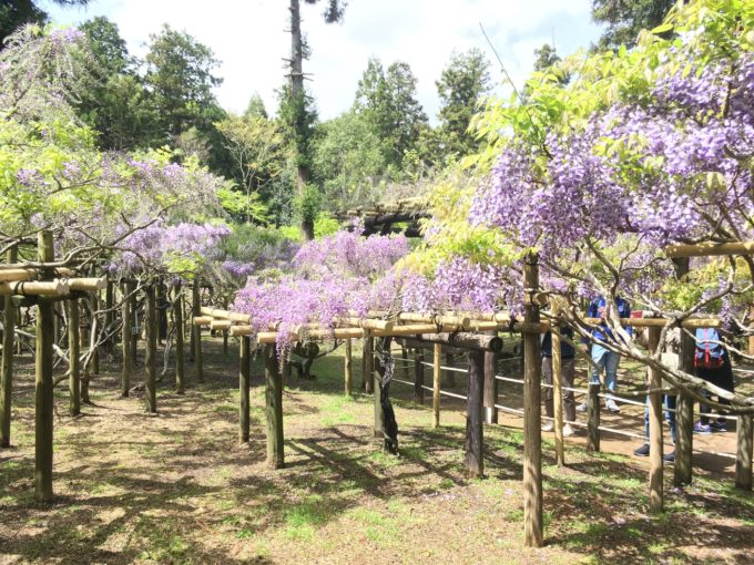 早咲きの藤棚