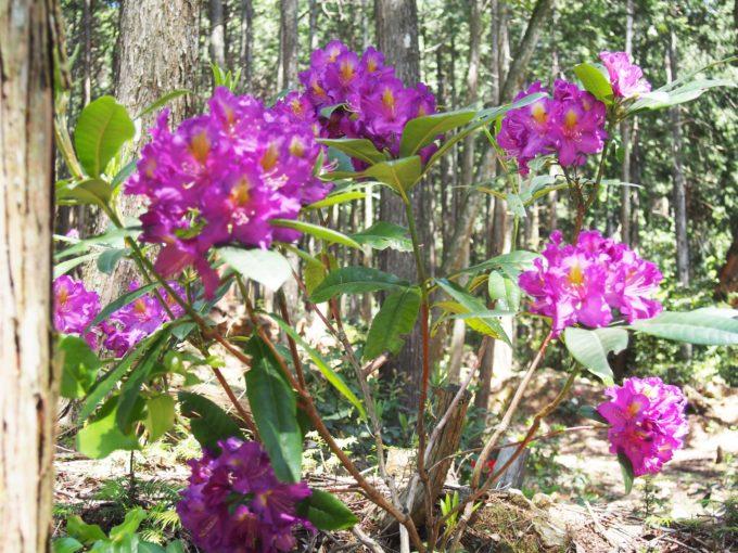 赤紫の石楠花