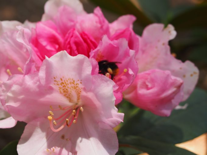 ピンクの石楠花