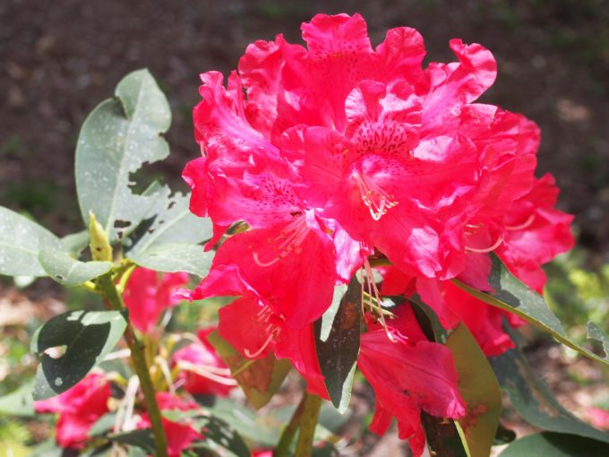真っ赤な石楠花