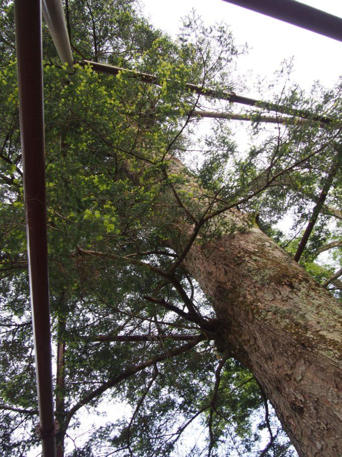日本一樅の木