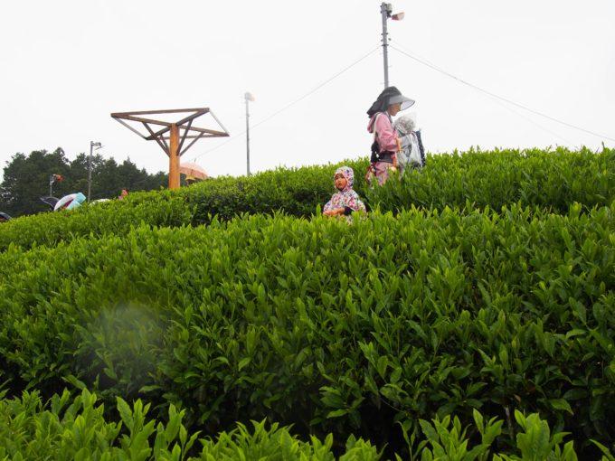 茶畑を見上げる
