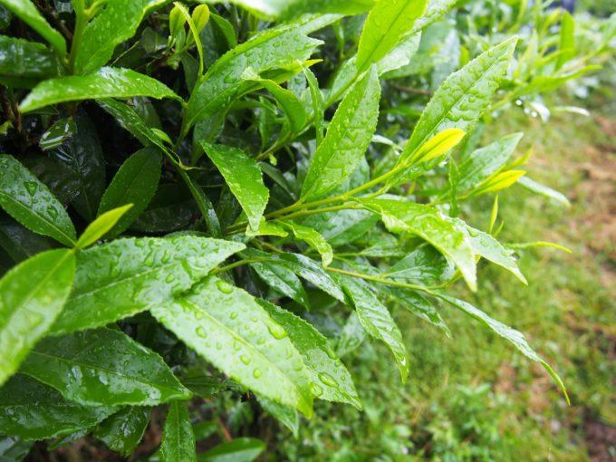 雨露に濡れるお茶の葉