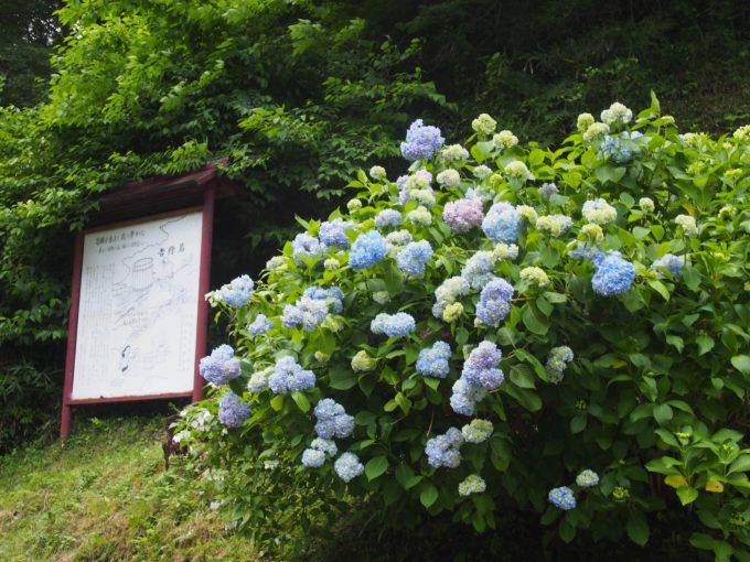 吉野駅の紫陽花