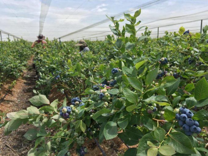 Gourmet Blueberries