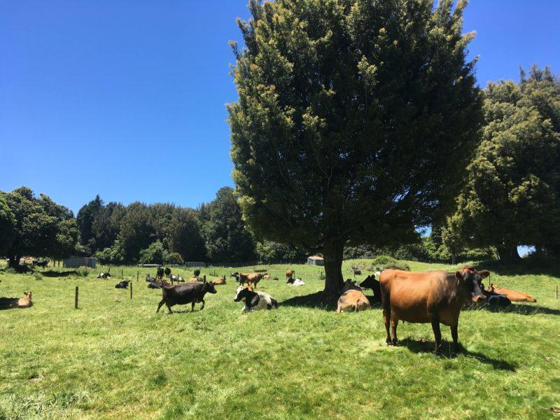 昼下がりの牛さんたち。